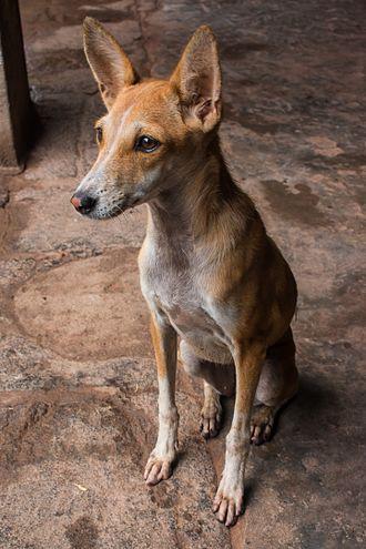 Indian pariah dog - Image: Pariah Dog