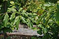 Parrotia persica 10zz.jpg