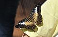 Parthenos sylvia qtl3.jpg