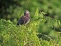 Patagioenas cayennensis Paloma morada Pale-vented Pigeon (23996700996).jpg