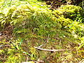 Patch of mosses.jpg