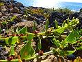 Patellifolia patellaris 0746.jpg