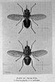 Patrick Manson, Tropical Diseases, drawings of Tse-Tse Fly. Wellcome L0029468.jpg