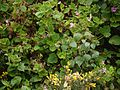 Pelargonium graveolens (6370606849).jpg