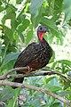 Penelope jacquacu -Manu National Park, Peru-8.jpg