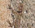 Peninsular Rock Agama (Psammophilus dorsalis) W2 IMG 2947.jpg