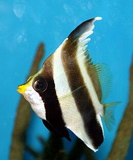 Pennant Bannerfish (Heniochus chrysostomus).jpg