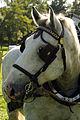 Percherons attelés mondial du cheval percheron 2011Cl J Weber10 (23975327222).jpg