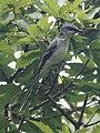 Pericrocotus divaricatus2.jpg