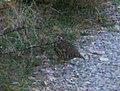 Pernice Rossa - panoramio.jpg