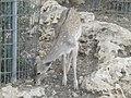Persian Fallow Deer 03.jpg