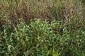 Persicaria lapathifolia plant2 NC (17006500928).jpg
