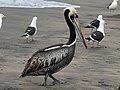 Peruvian Pelican RWD3.jpg