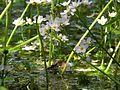 Pflanzen auf Wasser 1.jpg