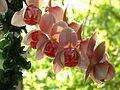 Phalaenopsis cv. (a) 02.JPG