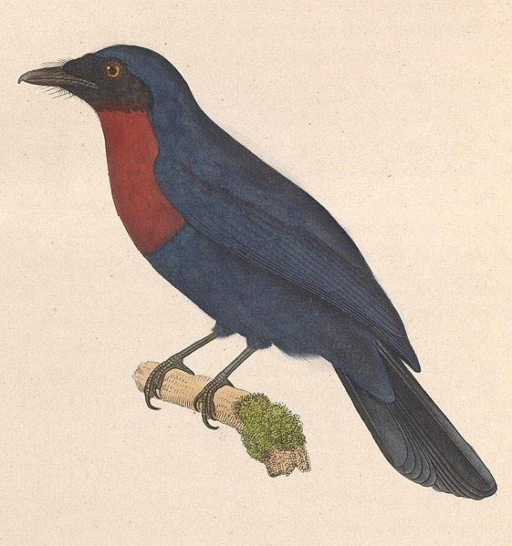 File:Philentoma velata 1838.jpg