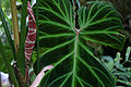 Philodendron verrucosum L. Mathieu ex Schott (codiferous).jpg