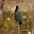 Phimosus infuscatus - Bare-faced Ibis 2