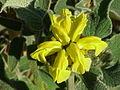 Phlomis fruticosa1.jpg
