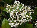 Photinia x fraseri fleurs.JPG