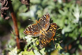Description de l'image Phyciodes pulchella (6156919109).jpg.