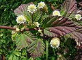 Phyla dulcis, the Aztec Sweet Herb (11628656846).jpg