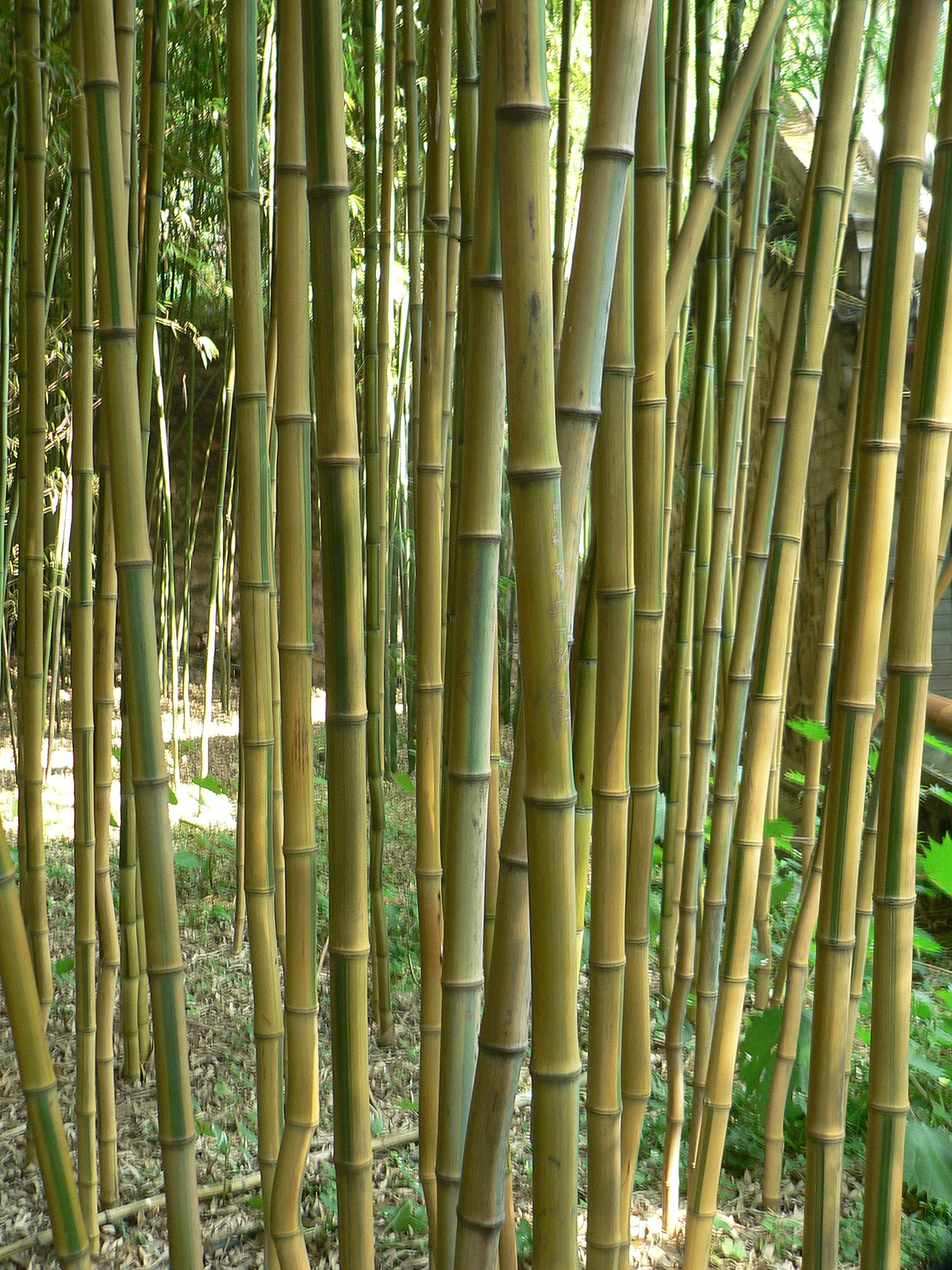 phyllostachys aureosulcata wikipedia. Black Bedroom Furniture Sets. Home Design Ideas