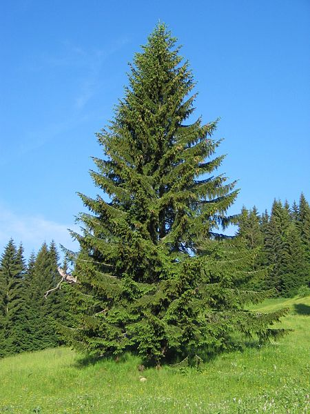 Fișier:Picea abies1.JPG