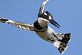 Pied Kingfisher, Ceryle rudis, at Pilanesberg National Park, South Africa (27859071534).jpg
