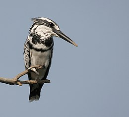 Pied Kingfisher I IMG 9414