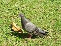 Pigeon biset (Columba livia).jpg
