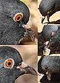 Pigeon eyes and eyelids.jpg
