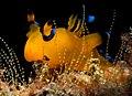 Pikachu Nudibranch Thecacera pacifica 1.jpg