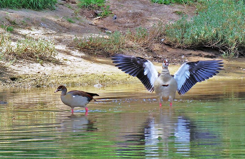 ברווזים על גדות נהר הירקון