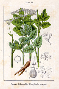 Pimpinella major Sturm11.jpg