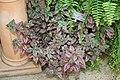 Pink Polka-Dot Plant (Hypoestes phyllostachya) (3103279319) (2).jpg