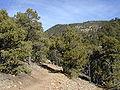 Pinus edulis Santa Fe 1.jpg