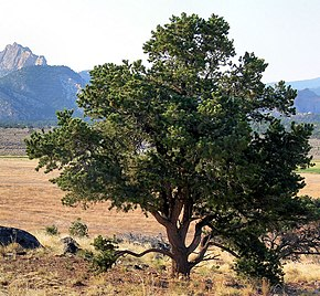 Description de l'image Pinus edulis Torrey-UT.jpg.