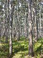 Pinus nigra (subsp. nigra) sl5.jpg