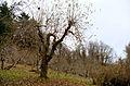 Piper Orchard tree.jpg