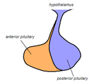 Pituitary gland representation.PNG