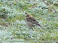 Plain Mountain Finch (Leucosticte nemoricola) (35784540555).jpg