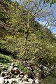 Platanus orientalis kz2.jpg