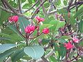 Plumeria - പാലപ്പൂവ് 01.JPG
