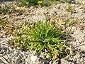 Poa annua (subsp. annua) sl4.jpg