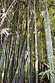 Poales - Bambusa vulgaris - 6.jpg