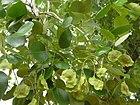 Pods of Pterocarpus santalinus(Red sanders) - Flickr - lalithamba.jpg