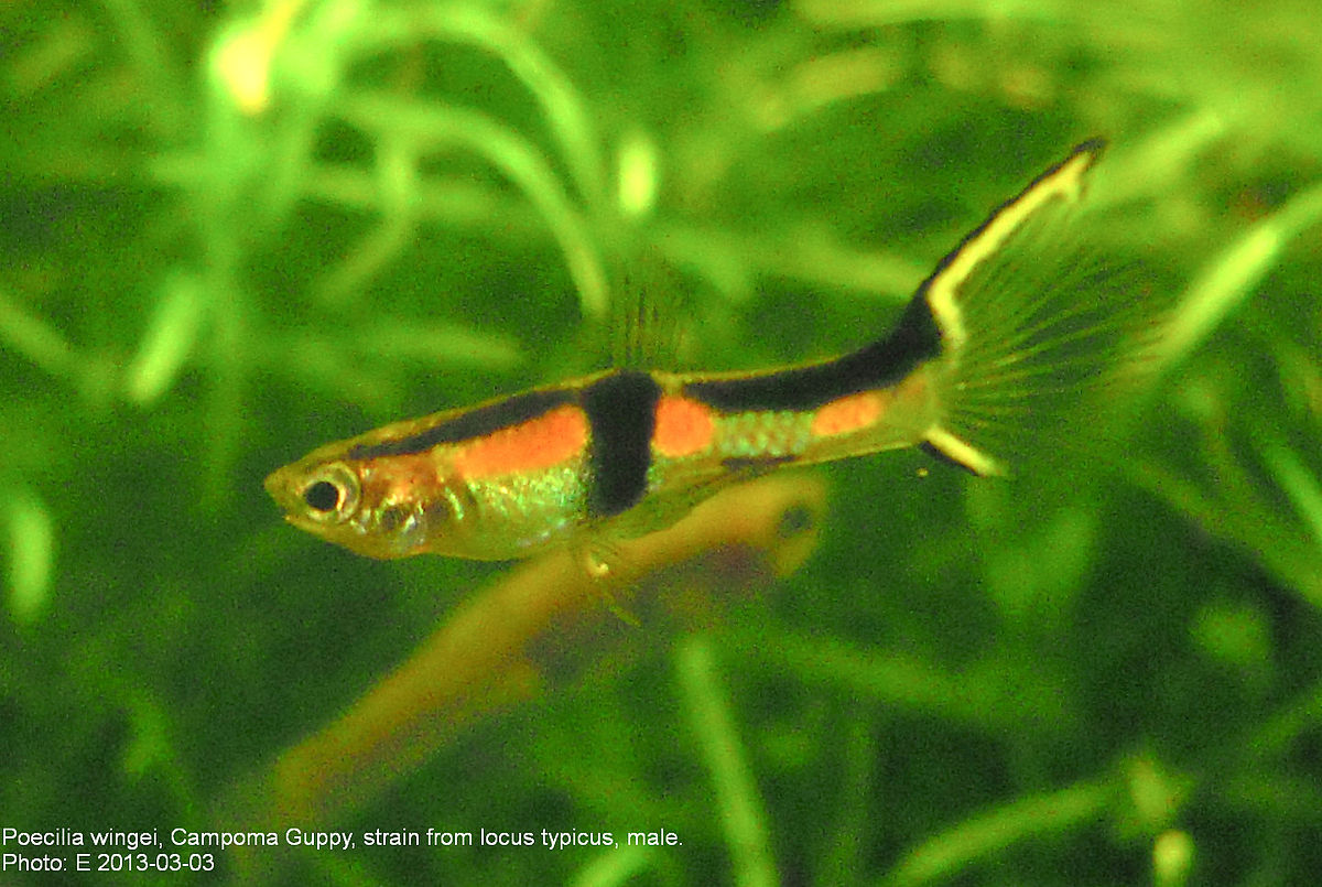 Poecilia wingei wikipedia for Endler guppy