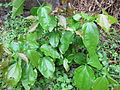 Poison Nut Tree - കാഞ്ഞിരം 07.JPG