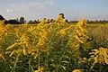 Polskie mimozy - panoramio.jpg